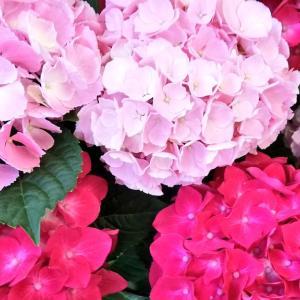 6月ですね~ 紫陽花