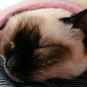 トイボブの猫ちゃん スヤスヤ