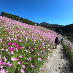 大村市 大又農園 コスモス園 10月14日満開でした。