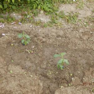 たまねぎ植えた