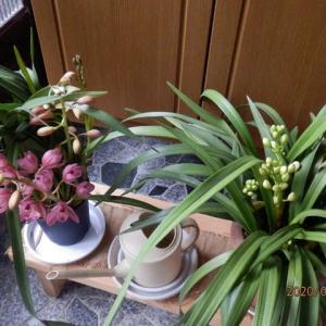 新たなシンビの開花