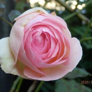 庭のバラと皇帝ダリア
