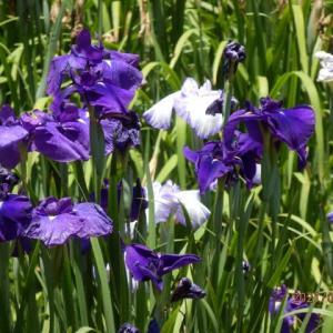 庭の花 花菖蒲と 菖蒲園