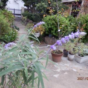 サルビアレウカンサとほうき草
