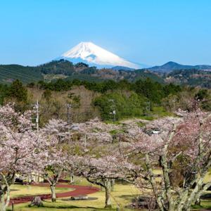 伊豆高原の桜と身体の変調?