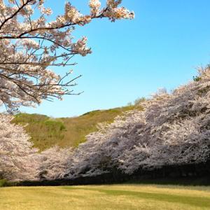 東伊豆クロスカントリーコースの桜と稲取高原