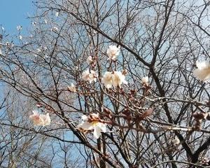 三神峯公園の冬桜