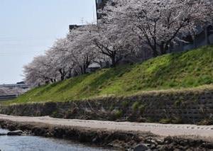 笊川の桜 満開