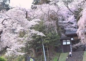 大年寺の桜