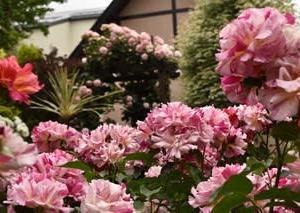 蓮華寺のバラ