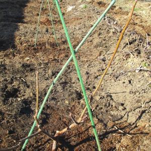 イチジクとキウイフルーツ苗の植え付け