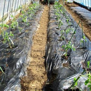 トマト苗の定植