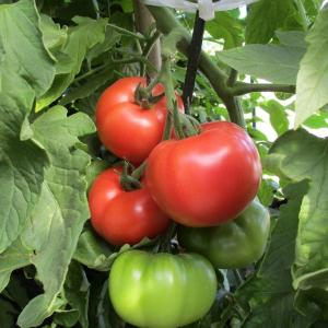 トマトの収穫(大玉)