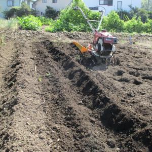 秋野菜の植え付け