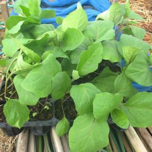 茄子とスイカ苗の定植