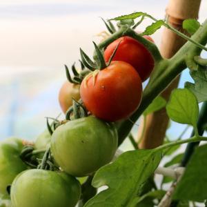 色付き始めたトマト