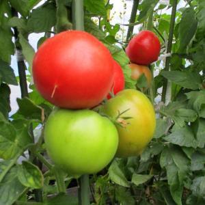 トマト収穫の最盛期