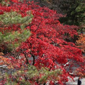 本殿に上る石段から見た真っ赤な紅葉