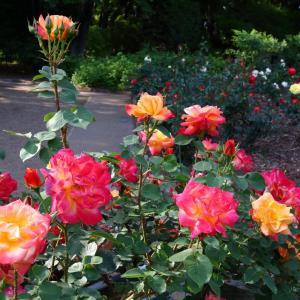 井頭公園のバラ見頃シーズンの前日