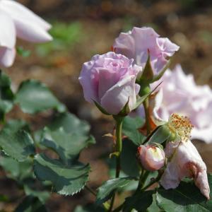 日本の伝統色を表現したというバラ「涼」