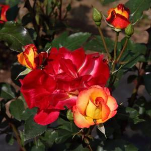 豪華に咲き誇るバラ「チャールストン」