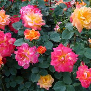 アメリカンドリームをイメージさせるバラ「ジョセフス コート」