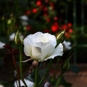 純白のバラ「アキト」と「チャイコフスキー」