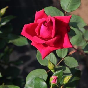 真っ赤なバラ「アメリカーナ」と「メリナ」