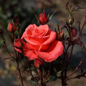 淑女の名を持つバラ「レディ・ローズ」