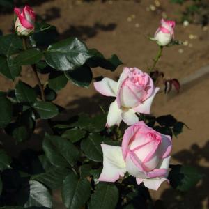メイアンの傑作白とピンクのバラ「プリンセス ドゥ モナコ」と「ピエール ドゥ ロンサール」