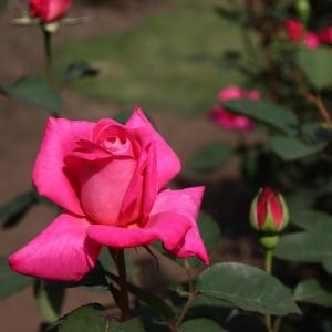 フランシス・メイアン晩年の傑作「ピンク ピース」