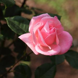 女王の名を持つ名花「クイーン エリザベス」