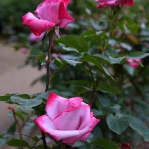 謎の美人バラと初対面のバラ