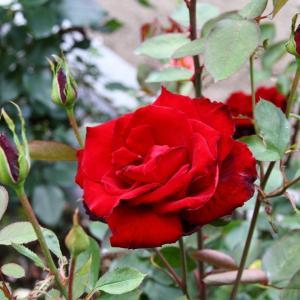 作出年代が新しい「ラ ローズ ドゥ ベルサイユ」と謎の真っ赤なバラ