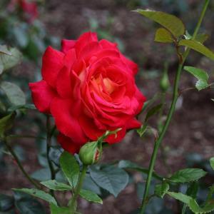見覚えがあったオシャレな複色のバラ