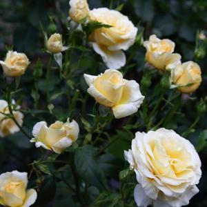 『ベルサイユのばらシリーズ』のバラ「アンドレグランディエ」と「王妃アントワネット」
