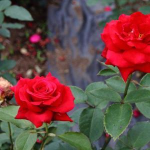 花の形が特に美しいドイツ作出のバラ