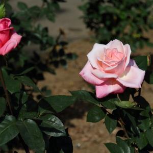 日本産出のバラ+その他