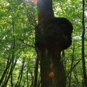 ハイキングコースの山道で見た珍しい巨木