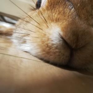 うさぎのつくねさん、バリカンで刈られてオシャレウサギに(/ω\)