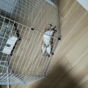 【ウサギ】お腹を出して寝るつくね