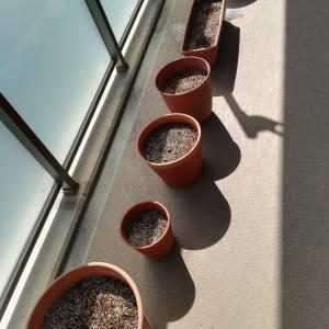 チモシーとイタライの種を蒔きました。