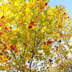 色づき始めた昭和の森と緑化センターの木々