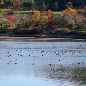 寒くなるにつれてカモなどの水鳥の数が増えて来ました。