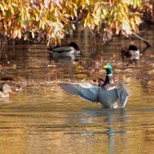 枯れ葉模様写す池でウォーミングアップをするマガモ