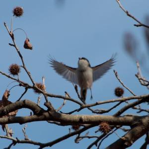 野鳥界のアイドル的存在「エナガ」