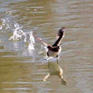 疾きこと風の如し ...  カイツブリの水上走りと低空飛行