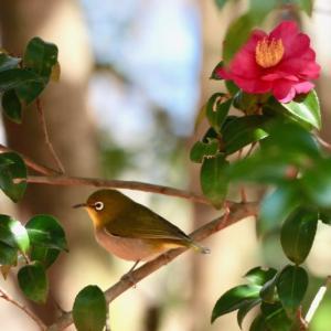 山茶花の蜜を吸うメジロとカエデの種子を食べるカワラヒワ