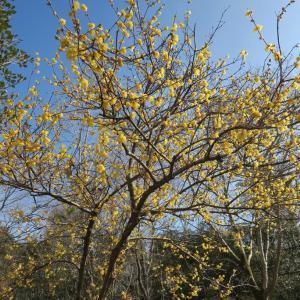 早春を彩るロウバイをテーマに季節の花めぐり