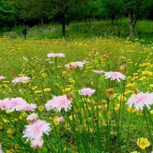 モモイロタンポポやハンカチの木、斑入りヤマボウシの花咲く風景